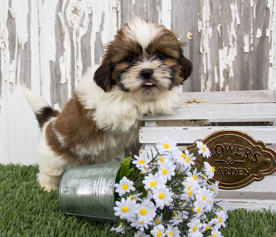 shih tzu breeders southern california shih tzu puppies for sale los angeles ca 213975 3770