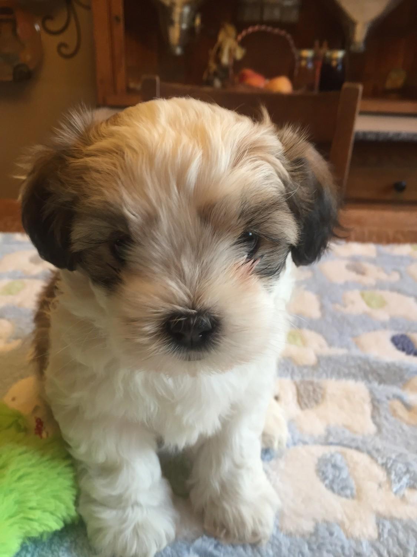 stunning shih tzu puppies for sale In Poland