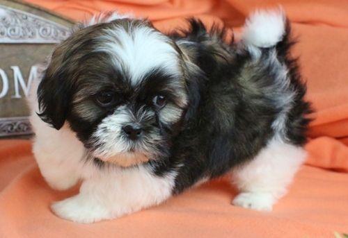 Shih Tzu Puppies For Sale Houston Tx 217304 Petzlover