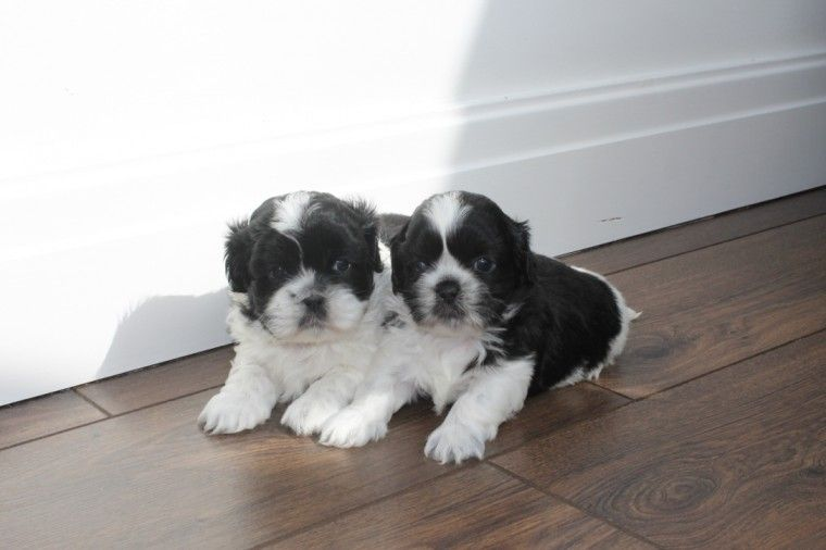 shih tzu for sale in arkansas shih tzu puppies for sale little rock ar 222850 3058