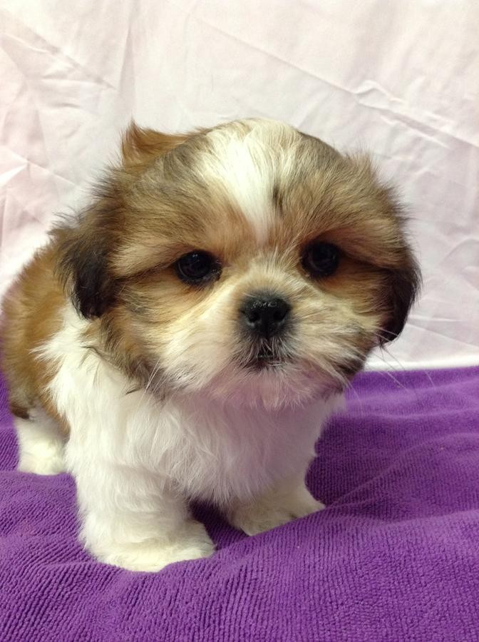View Ad: Shih Tzu Puppy for Sale near In Ireland