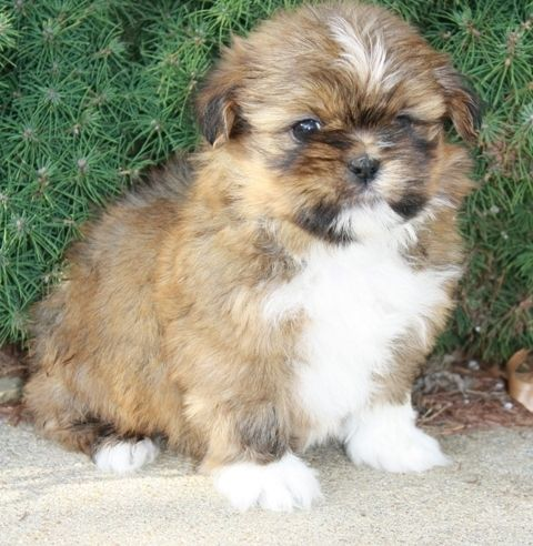 Shih Tzu Puppies For Sale Los Angeles Ca 228327