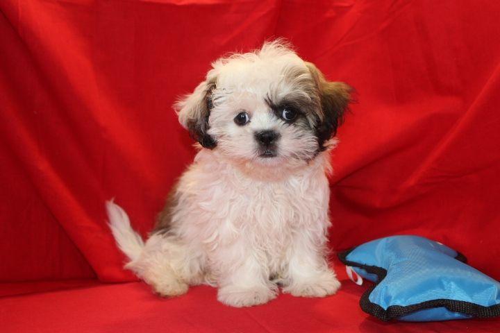 Shih Tzu Puppies For Sale Kansas City Mo 229567