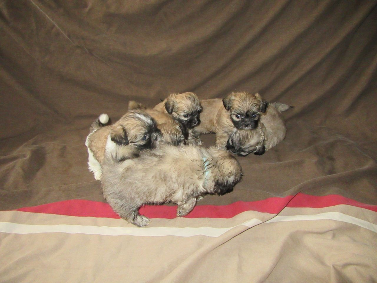 shih tzu puppies for sale indianapolis shih tzu puppies for sale indianapolis in 229749 9713