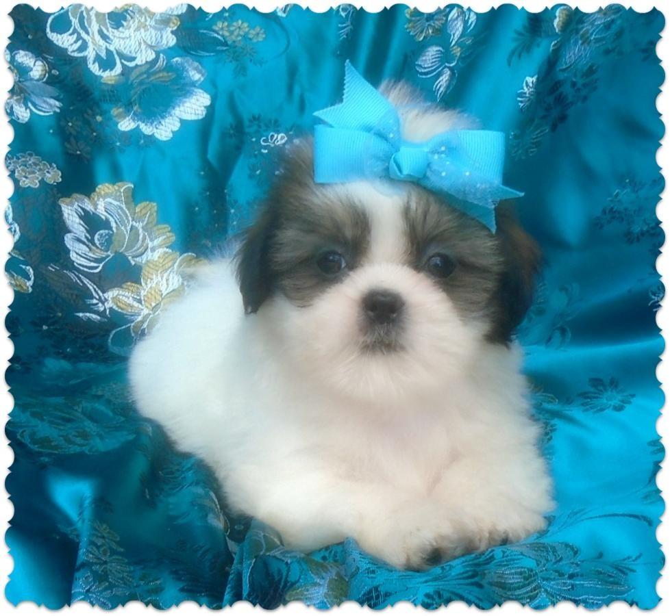Shih Tzu Puppies For Sale Jackson Ms 233635 Petzlover