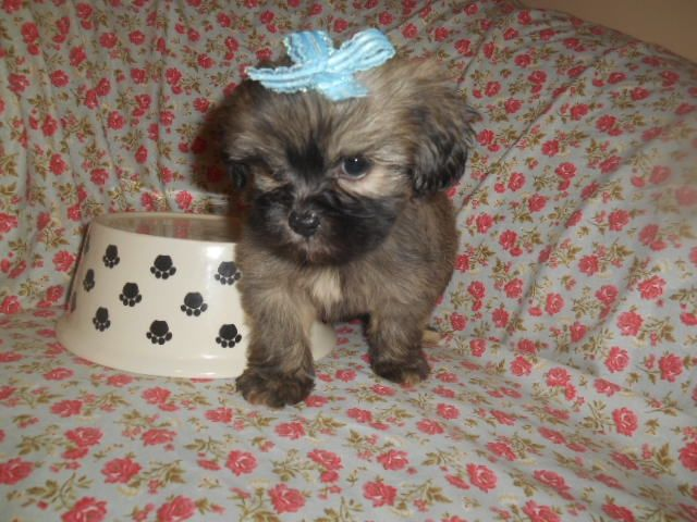 Shih Tzu Puppies For Sale West Bloomfield Township Mi 234579