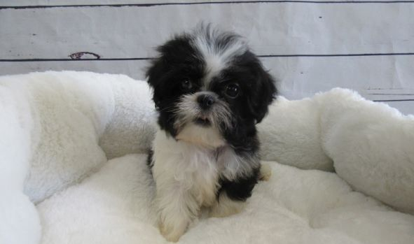 shih tzu puppies in pa shih tzu puppies for sale philadelphia pa 239772 4845