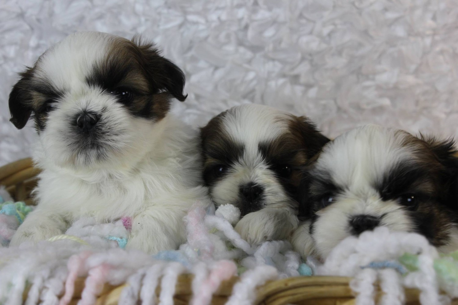 Shih Tzu Puppies For Sale West Side Industrial Mi 242874