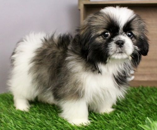 shih tzu puppies for sale in ma shih tzu puppies for sale worcester ma 245644 4943