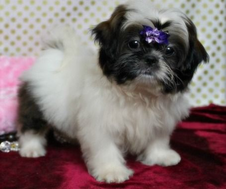 shih tzu puppies for sale in ma shih tzu puppies for sale worcester ma 245644 5353