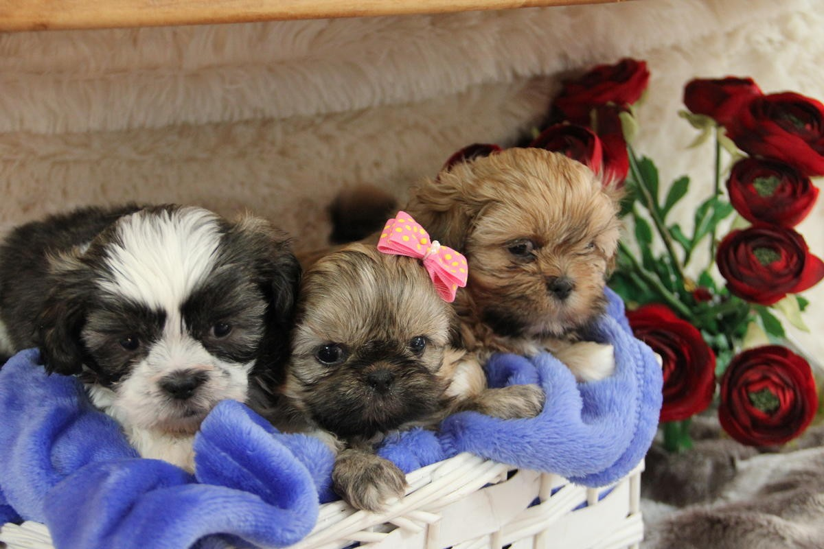 shih tzu puppies in pa shih tzu puppies for sale philadelphia pa 246921 2475
