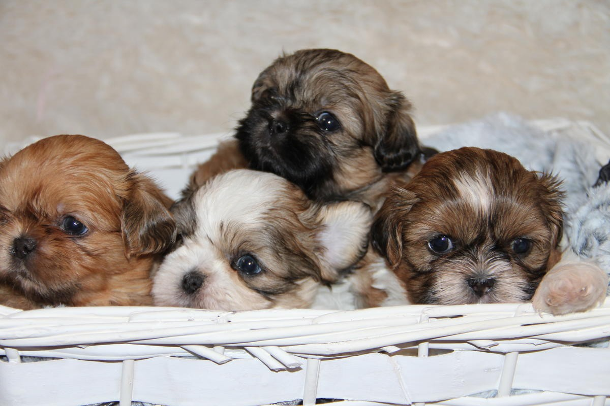 shih tzu puppies in pa shih tzu puppies for sale philadelphia pa 249094 7967