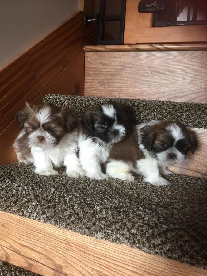shih tzu for sale chicago shih tzu puppies for sale chicago il 249418 petzlover 604