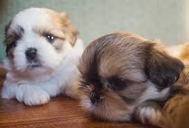 Shih Tzu Puppies For Sale Boston Ma 251072 Petzlover