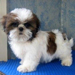 Shih Tzu Puppies For Sale Boston Ma 253029 Petzlover