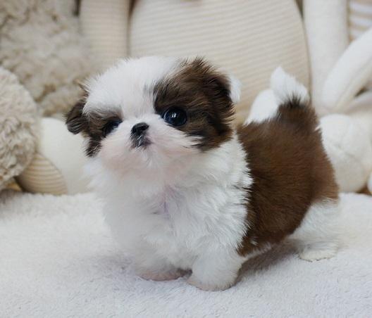 Shih Tzu Puppies For Sale Detroit Mi 253473 Petzlover