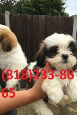 Shih Tzu Puppies For Sale Columbus Oh 253482 Petzlover