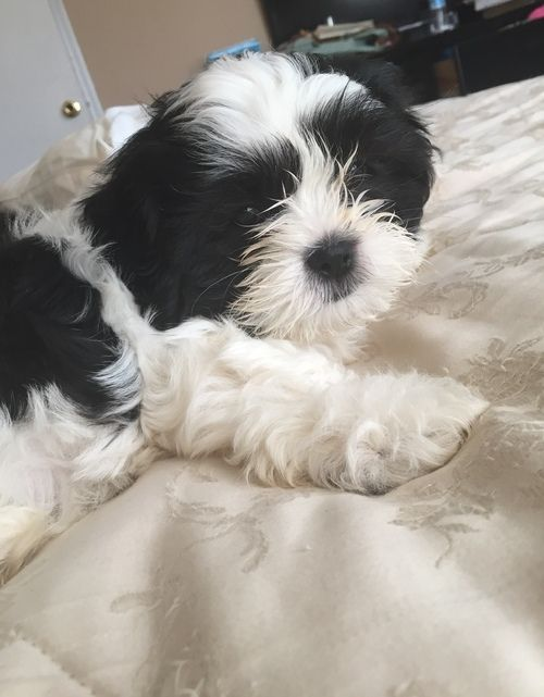 Shih Tzu Puppies For Sale Phoenix Az 257904 Petzlover