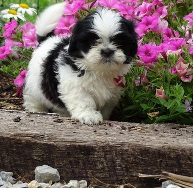 shih tzu breeders in ky shih tzu puppies for sale louisville ky 260420 5349
