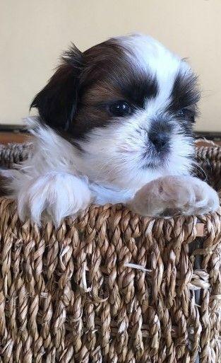 Shih Tzu Puppies For Sale California Street Ca 262646