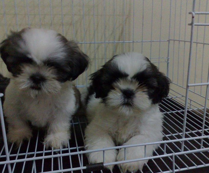 Shih Tzu Puppies For Sale Bountiful Ut 263230