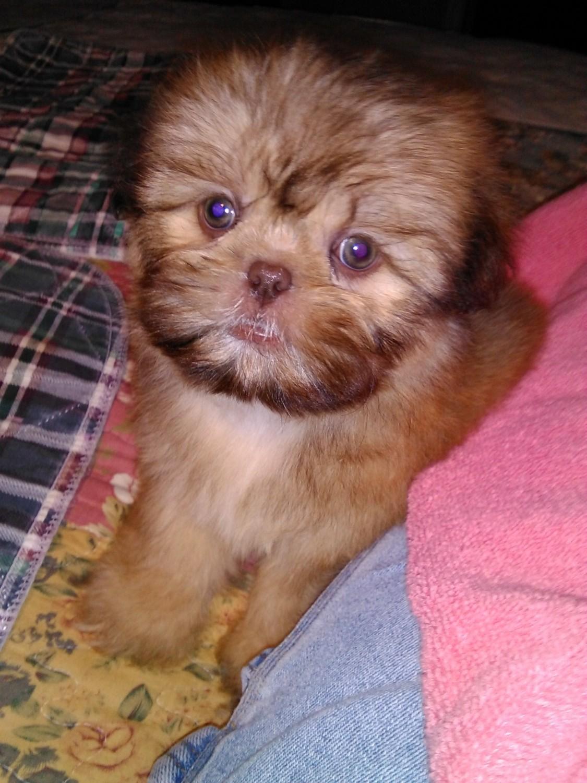 Shih Tzu Puppies For Sale Fischer Tx 238505 Petzlover