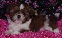 Shih Tzu Puppies For Sale Boston Ma 267275 Petzlover