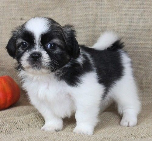 Shih Tzu Puppies For Sale Houston Tx 267693 Petzlover