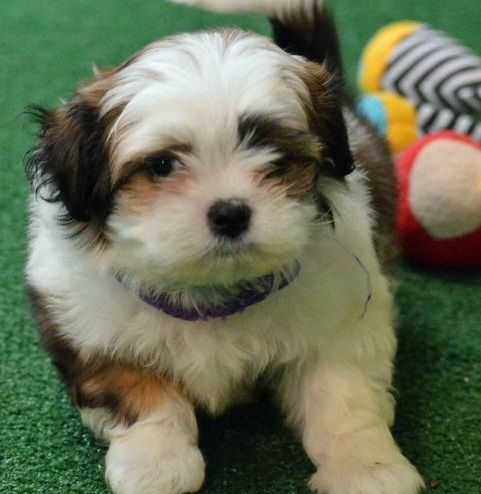 Shih Tzu Puppies For Sale St Louis Mo 268699