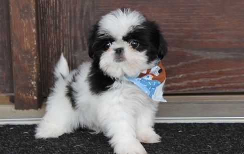 Shih Tzu Puppies For Sale   Guernsey, WY #270485   Petzlover