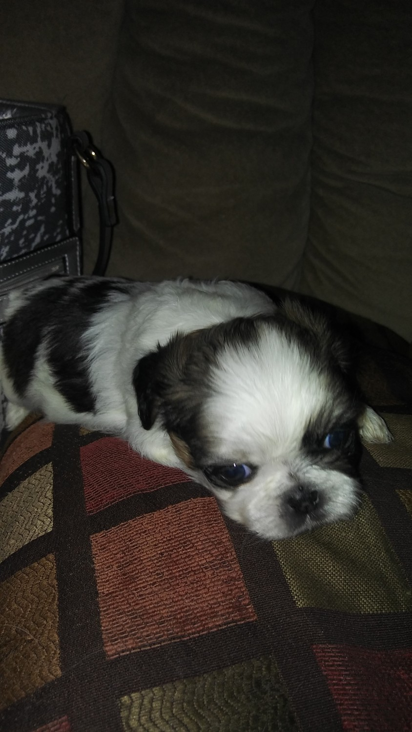 shih tzu puppies in pa shih tzu puppies for sale middletown pa 270161 7383