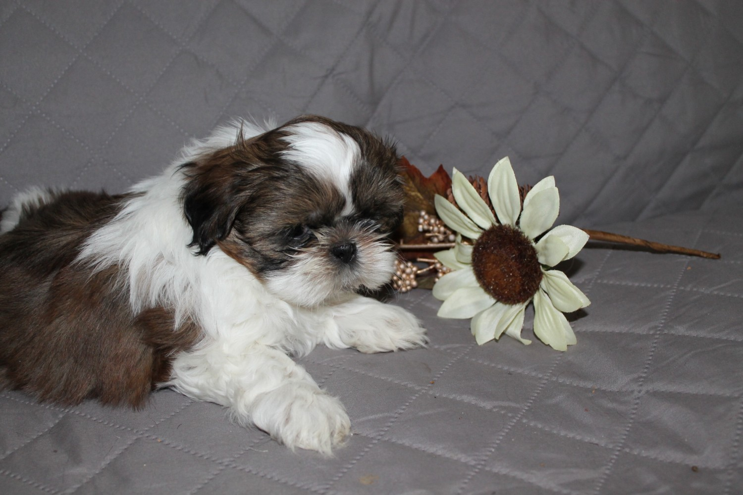 shih tzu breeders in tennessee shih tzu puppies for sale bethpage tn 272214 petzlover 1311