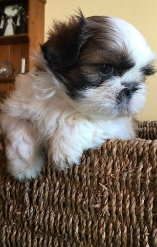 shih tzu puppies for sale in philadelphia shih tzu puppies for sale philadelphia pa 272347 6386