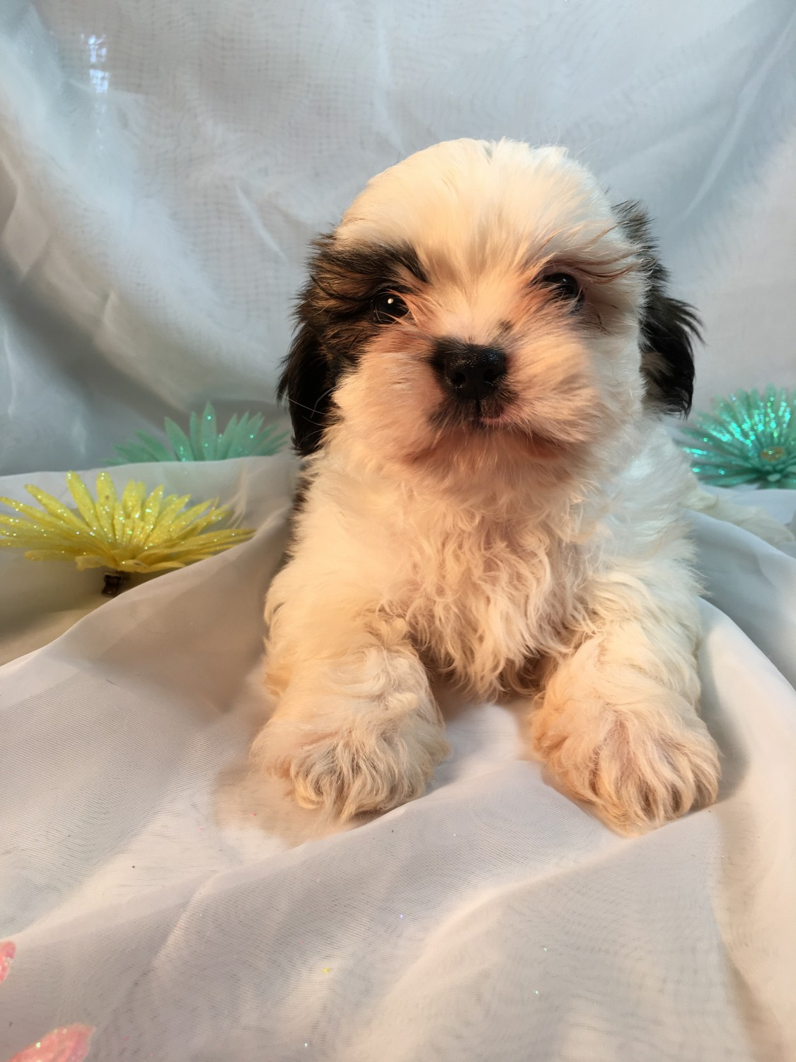 Shih Tzu Puppies For Sale Broxton Ga 275401 Petzlover