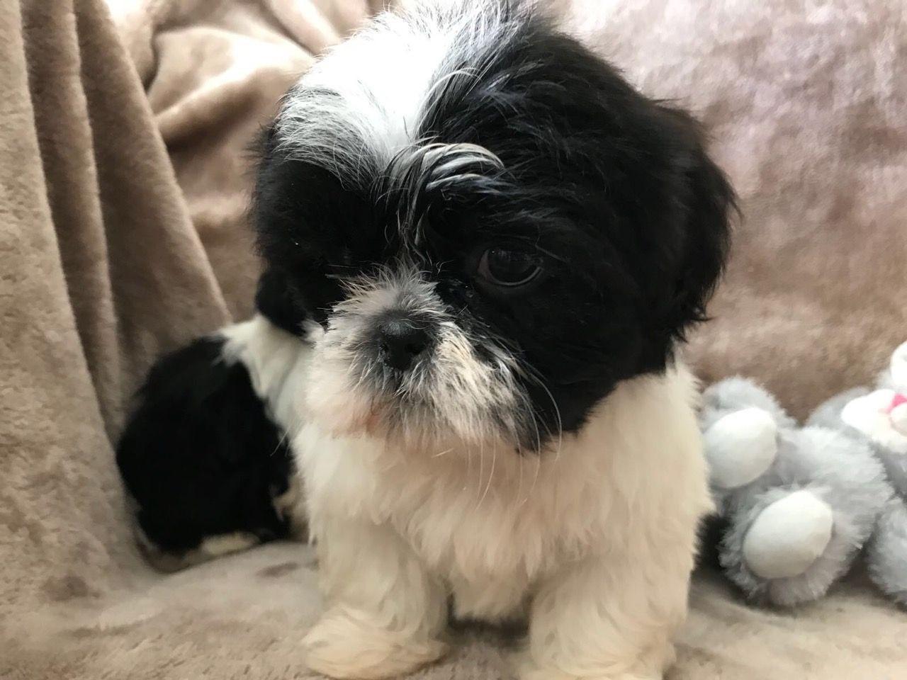 Shih Tzu Puppies For Sale Houston Tx 280032 Petzlover