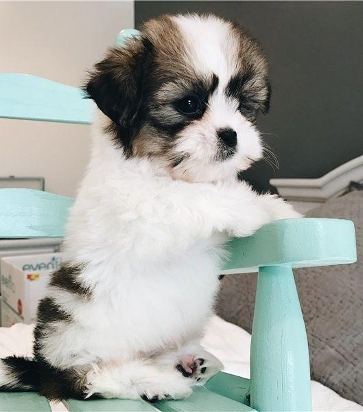 Shih Tzu Puppies For Sale Houston Tx 282537 Petzlover