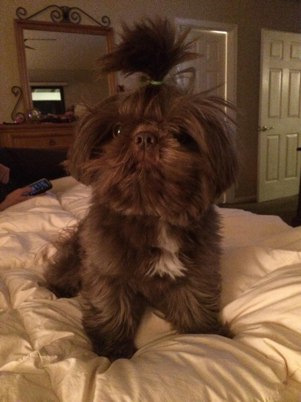 Shih Tzu Puppies For Sale Lincoln Ca 284778 Petzlover