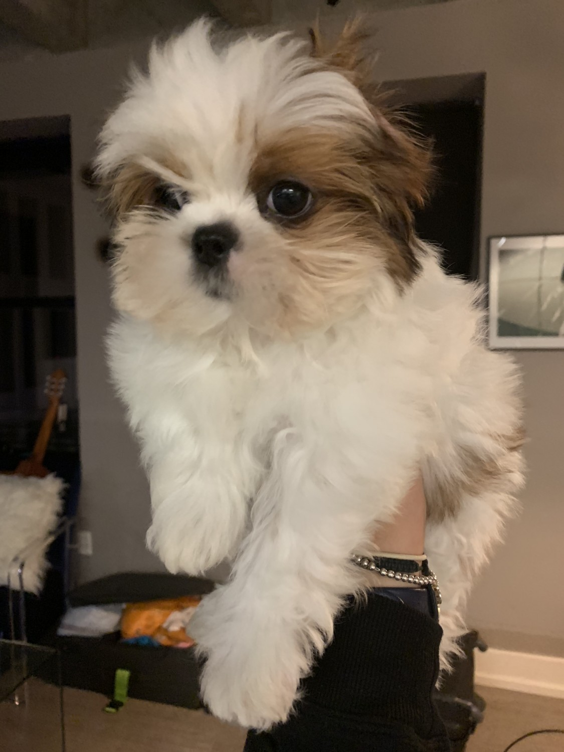 Shih Tzu Puppies For Sale West 7th Street Los Angeles Ca 286059