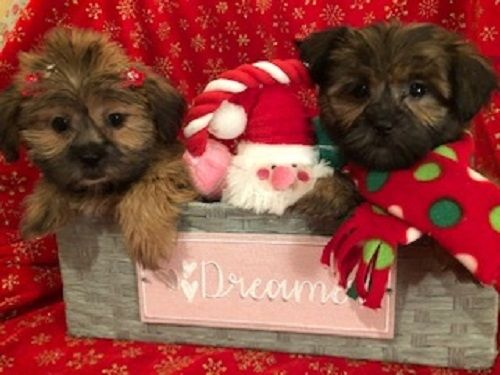 Shih Tzu Puppies For Sale West Bloomfield Township Mi 286718