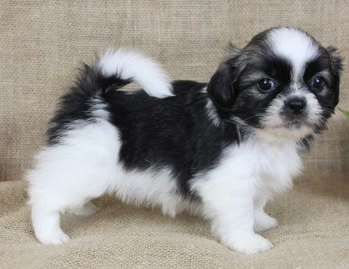 Shih Tzu Puppies For Sale Columbus Oh 238267 Petzlover