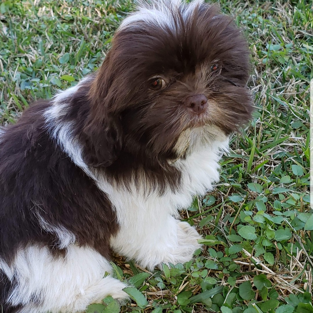 Shih Tzu Puppies For Sale Wilmington Nc 287260