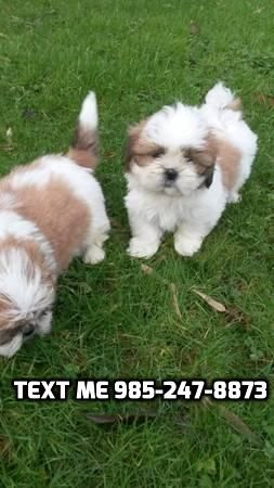 Shih Tzu Puppies For Sale Madison Wi 287537 Petzlover
