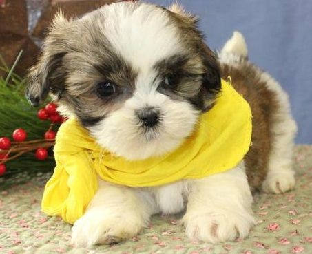 shih tzu puppies for sale in ma shih tzu puppies for sale fenway kenmore ma 288320 3654