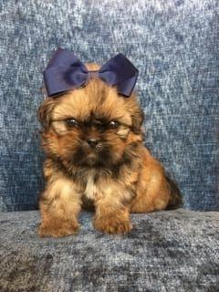 Shih Tzu Puppies For Sale Petaluma Ca 288498 Petzlover