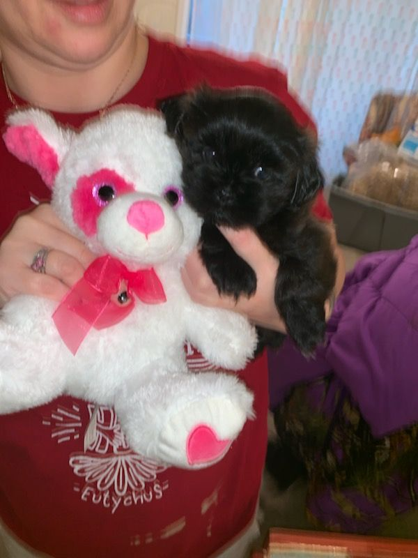 shih tzu breeders in ky shih tzu puppies for sale louisville ky 288925 9690