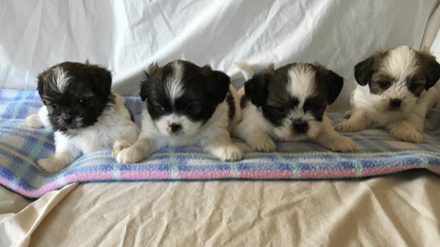 Shih Tzu Puppies For Sale Atlas Mi 289621 Petzlover