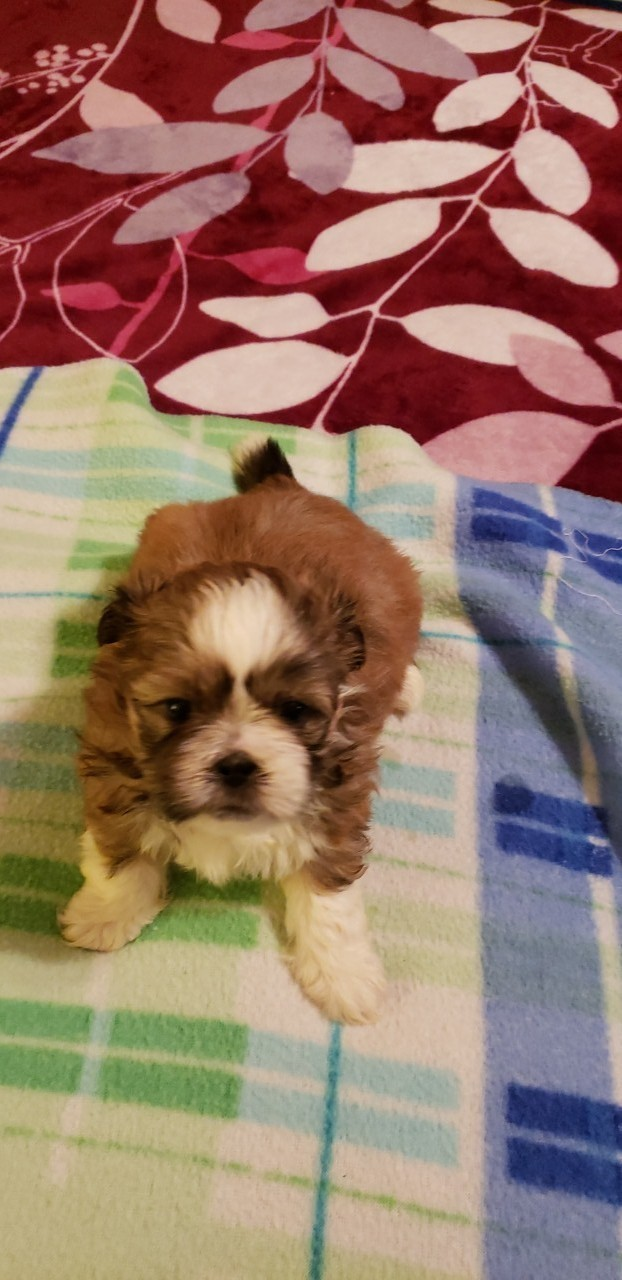 shih tzu puppies in pa shih tzu puppies for sale reading pa 292125 petzlover 8800