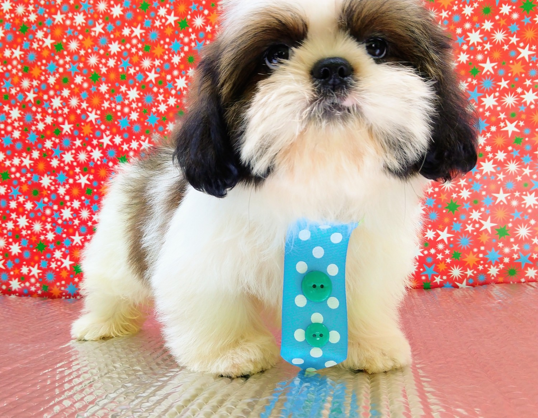 SHIH-TZU x SILKY TERRIER Puppy for sale - Victoria Australia