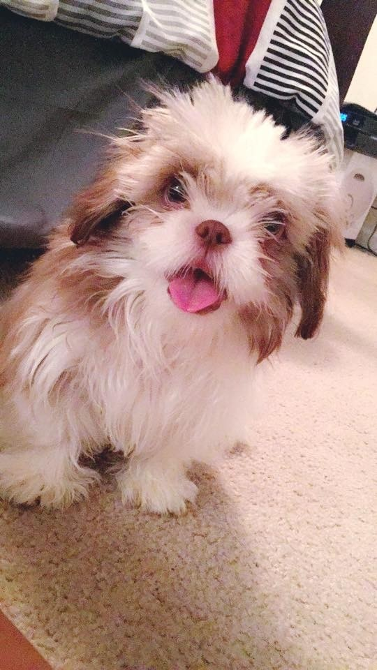 shih tzu puppies rescued shih tzu puppies for sale denham springs la 303821 3121