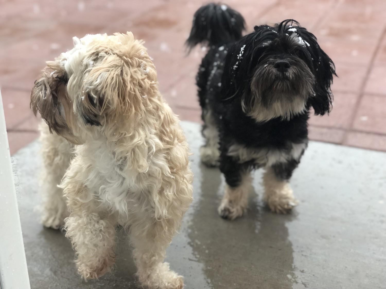 Shih Tzu Puppies For Sale Las Vegas Nv 306367